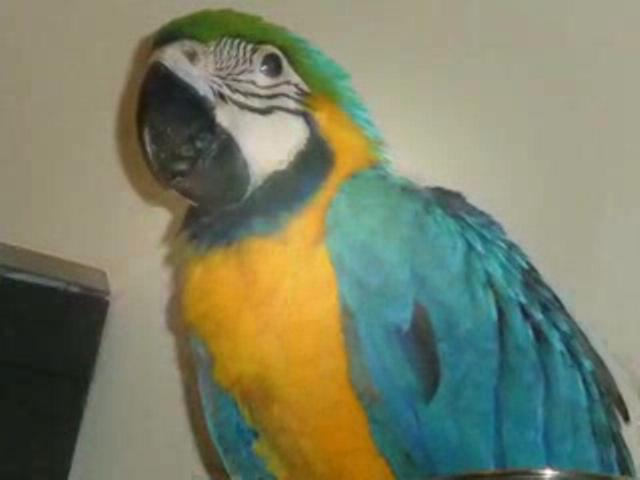 MY  Baby MACAW Parrot