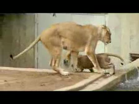 Mom knocks lion cub into the water